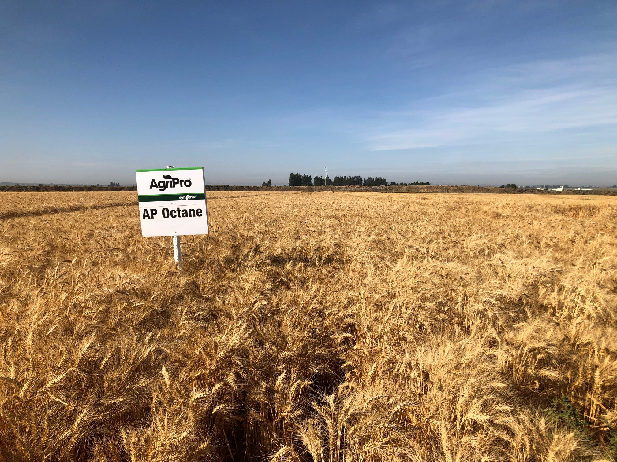 Shows an AgriPro spring wheat variety growing in a field.
