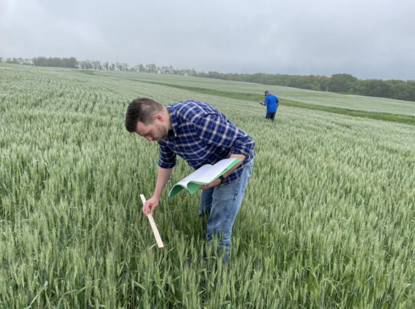 Calculating yield potential at the 2021 hard winter wheat tour