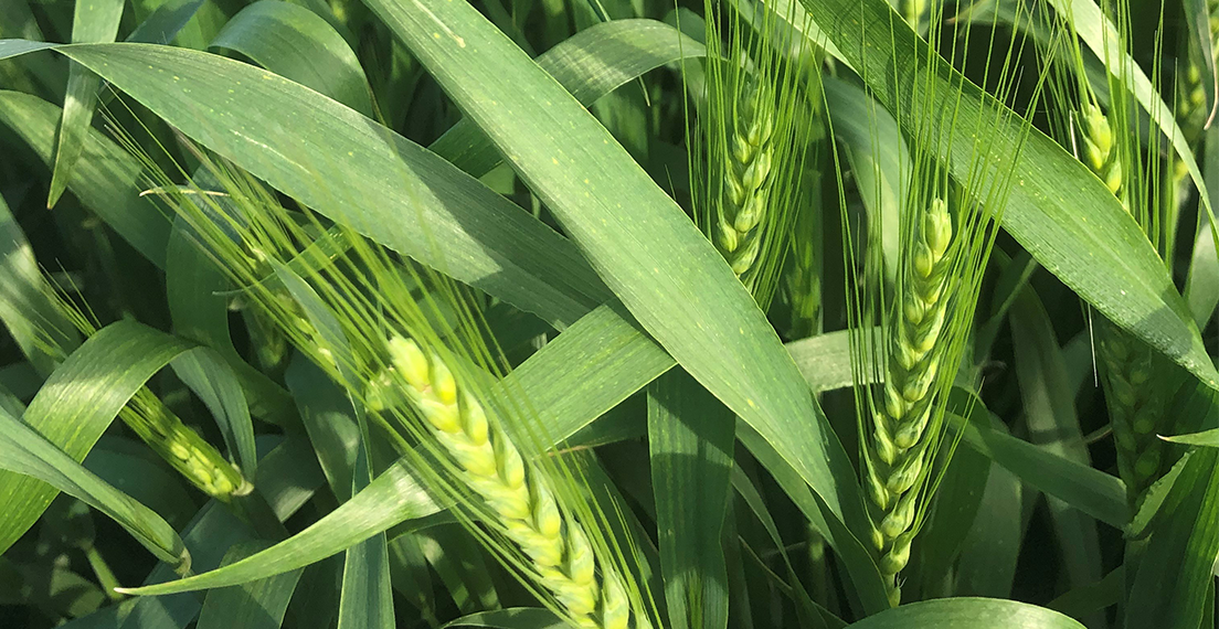 Show healthy wheat plants