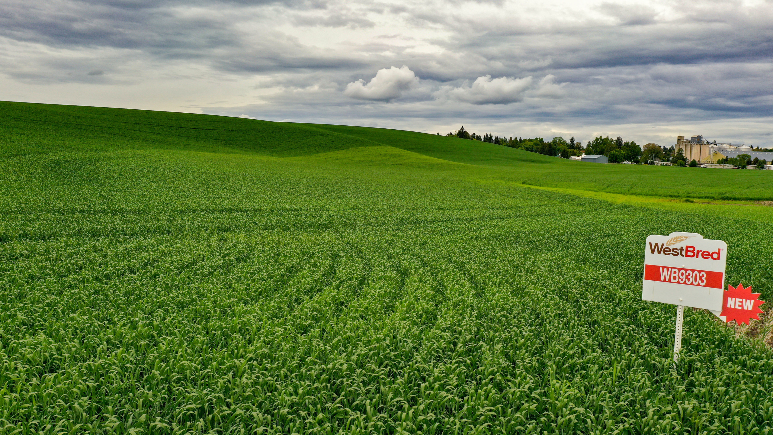 Image shows a WestBred spring wheat growing in a field.