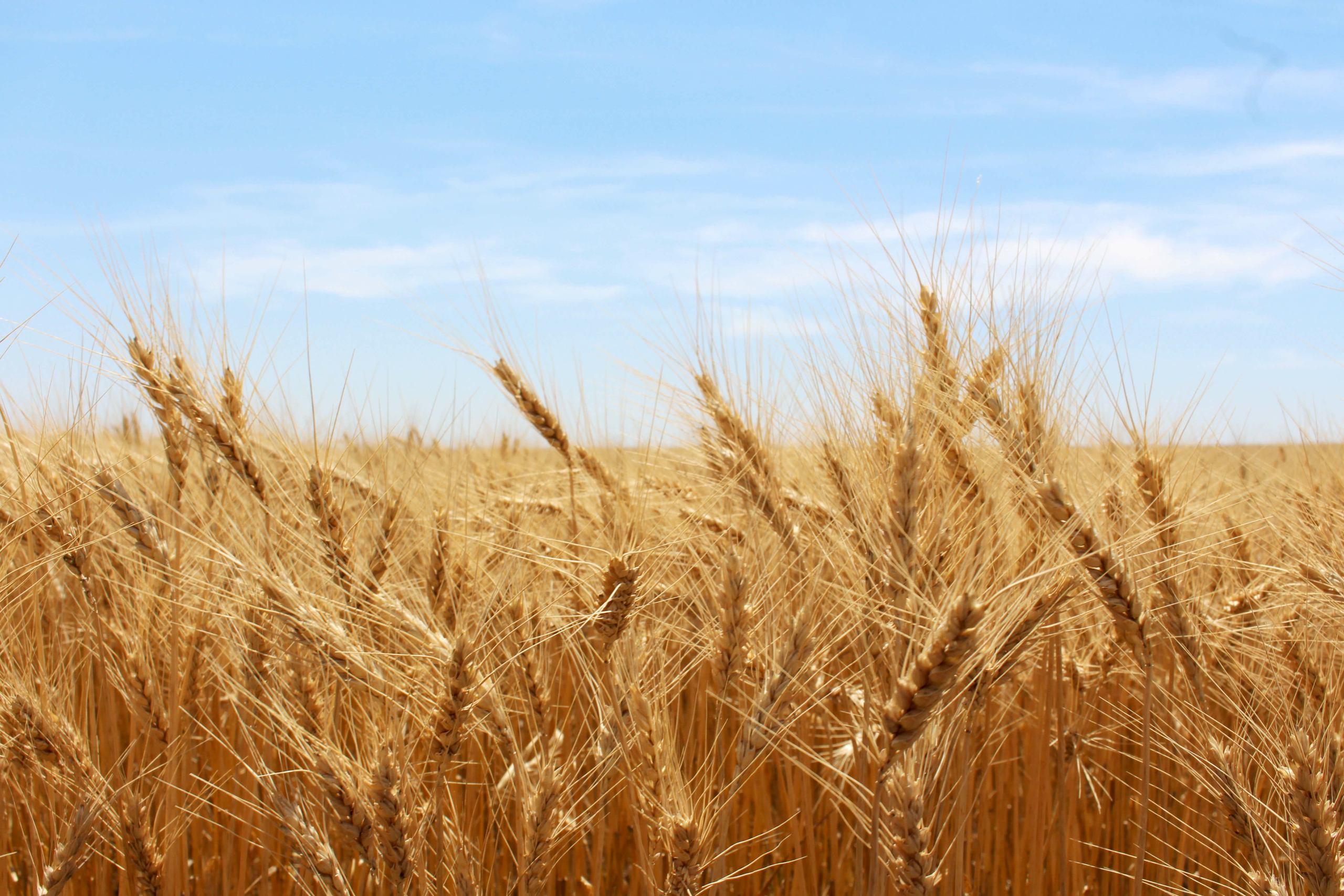 Image of wheat field to illustrate report on global wheat production