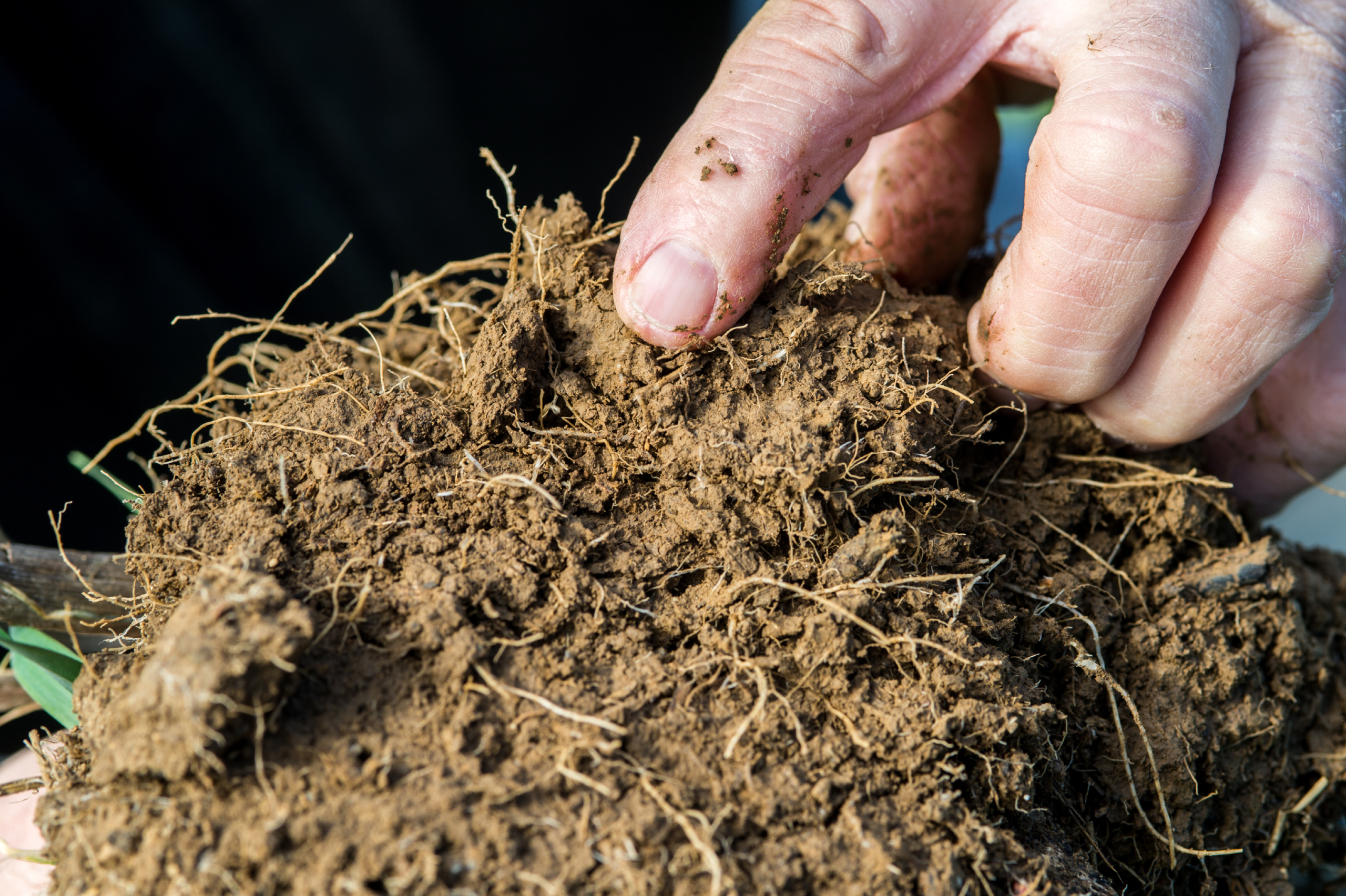 Photo shows roots from a cover crop conservation practices